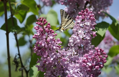 Lilac with Swallowtail